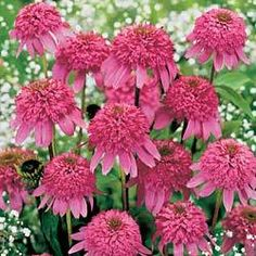I'm going to look for more varieties of cone flower. They do great in my midwest garden. This one is razzmatazz.