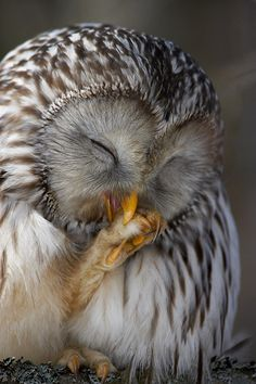 "Owl: ""Falling asleep ~ With His Foot in His Mouth!"""