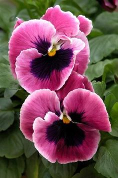 Pink and Blue Pansies♥