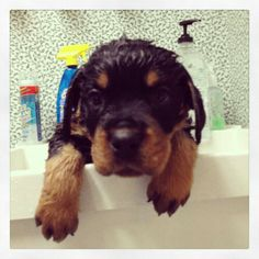 """""""I didn't want a bath!"""" - #Rottie's quote"""