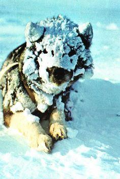 Siberian huskie?