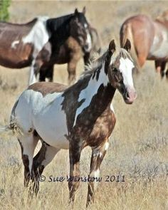 Maestro, 6 mon. old...the prettiest Wild Mustang by claudine