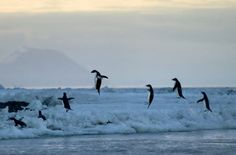 Tiny Adelie penguins burst out of the freezing ocean, clearing heights of up to two metres. The two-foot flightless birds build up speed underwater before propelling themselves onto the ice.