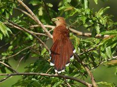 Squirrel Cuckoo (Piaya cayana) Beautiful bird