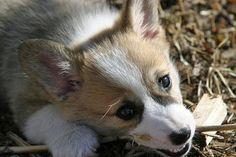 how adorable are corgi pups?