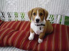 Corgle (Corgi + Beagle) | 19 Unusual Crossbreed Dogs That Prove Mutts Are The Ultimate Cute