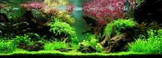 Inspiration and ideas for your planted aquarium. Planted Aquarium, Aquarium Aquascape, Aquariums, Aquascaping Plants, Nature Aquarium, Monte Carlo, Bonsai, Goldfish Aquarium, Fish Tank Stand