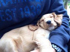 Sleepy Spaniel Puppy http://ift.tt/2dYc8S1