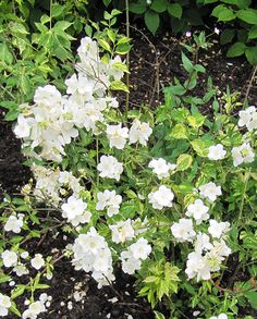 A bushy deciduous shrub with an upright habit, innocence has attractive variegated foliage thats green with splashes of yellow. Highly scented cup-shaped white flowers bloom in summer. Prefers well-drained soil in sun or partial shade. Farm Nursery, Manor Farm, All Plants, Shrubs, White Flowers, Mother Nature, Roots, Garden Ideas, Bloom