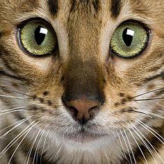 Bengal Cat Photos [Slideshow]