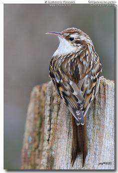 GRIMPEREAU DES JARDINS////Certhia brachydactyla//////////les grimpereaux des jardins et grimpereaux des bois sont très difficiles à distinguer à la vue, même par les spécialistes, tant ces deux oiseaux se ressemblent.//Comme pour tous les oiseaux, le critère de détermination le plus sûr est constitué par le chant vraiment spécifique à chaque espèce. Il faut une oreille exercée pour faire la différence effective entre leurs courtes vocalises.