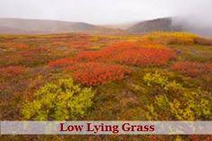 tundra plants names - Google Search
