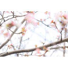【ayaneco8824】さんのInstagramをピンしています。 《Oct 23,2016*🌆。 * やっぱり桜が開花しだした---- * 犬の散歩コースにあるソメイヨシノ。蕾できてるなぁ~と思ってたけど、今日散歩ついでに見に行ったら、こんな感じฅ(๑*д*๑)ฅ * #_lovely_weekend  #my_daily_flower  #japan_daytime_view  #jp_gallery #airy_pics #team_jp_西  #bestjapanpics #lovers_nippon #IGersJP #team_jp_flower #wu_japan #ptk_flowers #japan_of_insta #instaflower  #team_jp_skyart #flowerstagram  #photo_shorttrip #ptk_japan  #α5100 #photographyday #as_archive #ファインダー越しの私の世界 #カメラ女子 #花いっぱい計画 #コスモス #ザ花部  #東京カメラ部 #こんな秋があったのか…