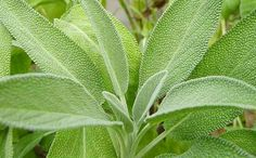 Sage-Salvia officinalis seeds, plants for sale