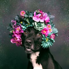 "PIT BULLS ARE BEAUTIFUL : With or without Flower Power Crowns ""pit bull"" dogs are sweet, soft, soulful, intelligent, just like all dogs. It is wonderful photographer Sophie Gamand discovered their inner beauty and is spreading this beauty everywhere!"