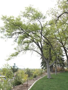 Common Hackberry - Species: Celtis occidentalis, Zone: 4-9, Height: 60', Spread: 50', Light: Sun-Shade, Growth: High, Dought Tolerant: High, Notes: This is one of the best non-native trees for planting throughout Utah. It has a medium-fast growth rate, a very nice canopy form, unusual bark, and is adapted to moderate drought, heat, wind, and high soil pH, Cost: $35 - $119