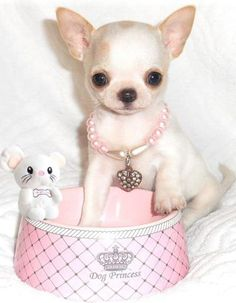 11 Best Chihuahua Puppies for sale images in 2019