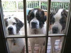Bath time is sad for everyone :-( Even sweet Saint Bernards must wait to dry before coming inside.