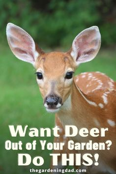 Do you Want Deer Out of Your Garden once and for all? Then Do THIS! Find 20 Easy Tips for Preventing & Keeping Deer Out of Your Garden for Good! #deer #gardenpests #thegardeningdad Garden Pests, Gardening Tips, Deer, Improve Yourself, Easy, Animals, Blog, Animales, Animaux