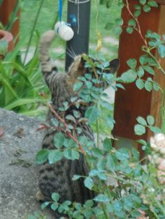 PILUS GIARDINIERE -  free cats visiting my garden for food&drink&playing