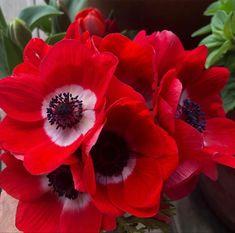 Red Anemone, Anemone Flower, Lavender Roses, Pink Roses, Wholesale Roses, Babys Breath Flowers, Light Pink Rose, Seeded Eucalyptus, Cream Roses