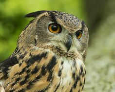 Taken at Doddington Place in Kent. Tufted owl by Colin Langford