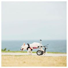 Todays takeover is by #Sydney photographer Charlotte Curd (@charlottecurd) who titles this picture Walkin Wheelies The dog was just captured on a Friday night after work going for a walk down the local beach and the owner was at least 100meters in front of him the artist writes Otherwise I would have asked the story behind the little fella  She continues Photography is more than a job and passion for me I live and breath it. It constantly invades my thoughts. I love that i can continually…