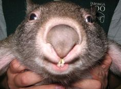 the cutest wake-up ever. A Wombat. Click picture to see more. Smiling Animals, Happy Animals, Animals And Pets, Funny Animals, Cute Animals, Pretty Animals, Cute Wombat, Baby Wombat, Baby Squirrel