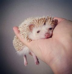 Awwwww #hedgehog