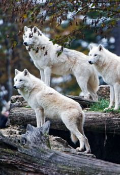 """Lots of Arctic Wolves (by Tambako the Jaguar) "" ""Viele arktische Wölfe (von Tambako, dem Jaguar)"" Arktischer Wolf, Wolf Husky, Wolf Pup, Beautiful Wolves, Animals Beautiful, Cute Animals, Wolf Photos, Wolf Pictures, Wolf Spirit"