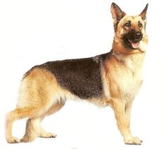 german shepherds! - Click image to find more Products Pinterest pins
