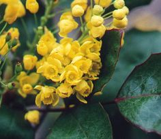 Mahonia aquifolium (Oregon grape):  A very appropriate plant for natural wild gardens in the Western states, where it is reliably deer resistant. Tall and thin, it is perfect for very narrow spaces at tight gateways and side yards. (monrovia.com)