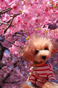Cherry blossoms with Lily lets hear the love