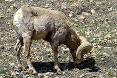 Bighorn sheep in the Rocky Mountains of Colorado. Calm Cradle Photo & Design