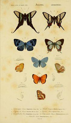 Butterflies from the Dictionnaire universel d'histoire naturelle, 1849