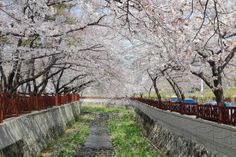 Jinhae, a district in Changwon City is a cherry blossom marvel during spring. A train ride in Kyeong-Wha Train - See more at: http://holidaybays.com/7-scenic-spots-to-make-you-say-saranghae-south-korea/#sthash.ld9hSjw1.dpuf