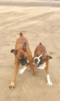 Henry and Ike going nuts during a mad chase on the beach this afternoon!