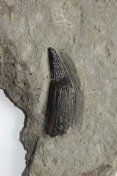 Ichthyosaur Tooth - Page 2