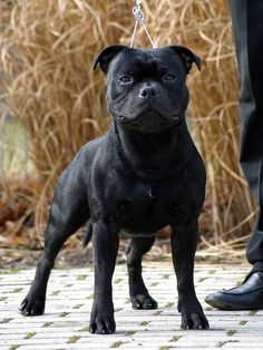 Staffy Bull Terrier, Staffy Dog, Stafford Terrier, English Staffordshire Bull Terrier, Pit Dog, Dog Anatomy, Unique Dog Breeds, Pet Snake, War Dogs
