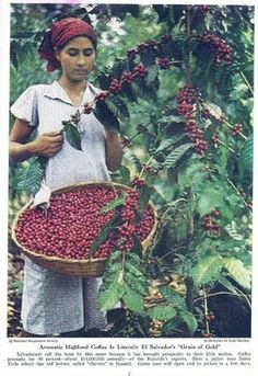 Historia de El Salvador: EL CAFÉ EN LOS AÑOS 1940. No ha pasado el tiempo sobre la recolección del café.
