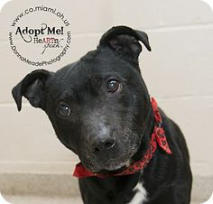URGENT!  I am at a kill shelter in Troy, OH - Pit Bull Terrier Mix. Meet Meg a Dog for Adoption.