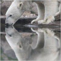 polar bear animal mammal