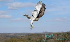 jean marie's photography, nature, animals, Red-tailed Hawk