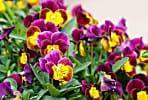 17 best plants for cool-season color