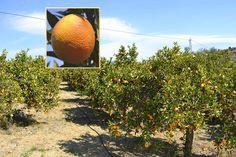 An orange cultivation in the fertile Guadalhorce Valley, Coín (Málaga) - Spain. Malaga Spain, Andalusia, Fertility, Countryside, Spanish, Orange, Beautiful, Spanish Language, Spain
