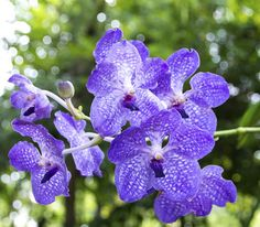 Helen's most valued Blue Vanda Orchid