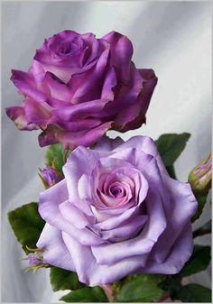 lavender & violet roses This.