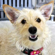 Like my smile? I'd love to smile at you for... well, for forever! My name is Anastasia and I am a #Terrier / #whippet blend #dog yearning for a forever home in #SanDiego. #Adopt me today and I'll smile all day, every day!