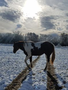Tonka, AKA BR Little Diamond, paint gelding at the VHR RANCH in Paige Tx