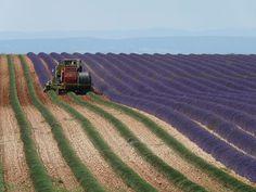 Сбор урожая лаванды в Провансе, Франция.